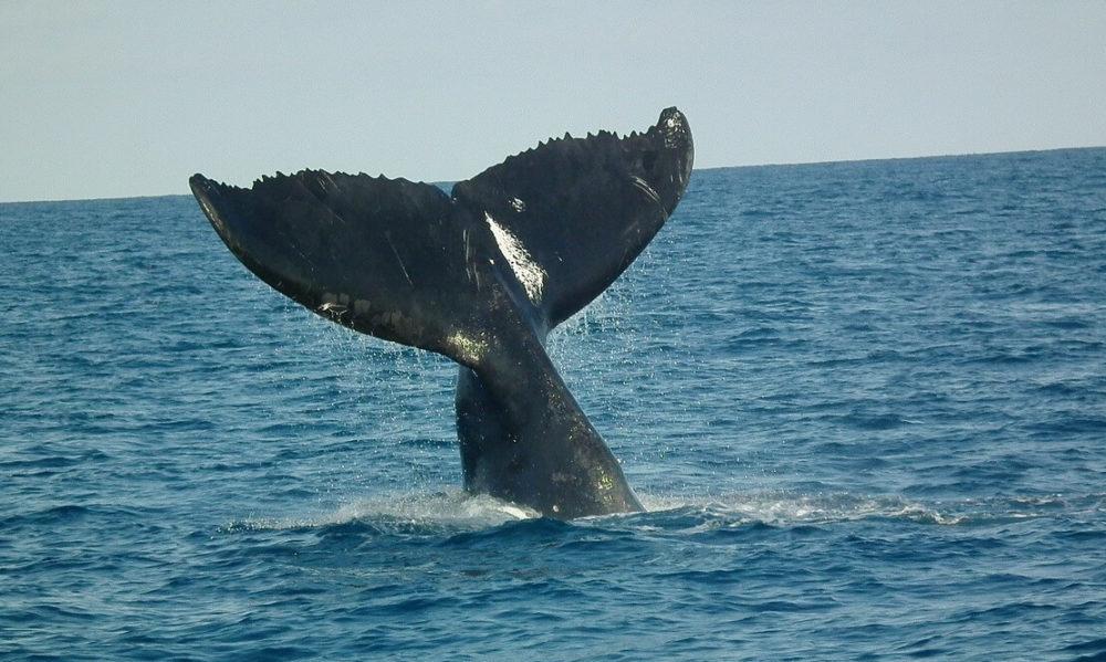 baleias jubarte voltam a aparecer no litoral de são paulo