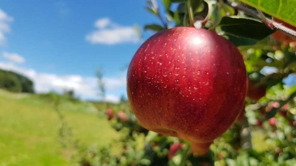 chegada do inverno é festejada por produtores de maçã em sc
