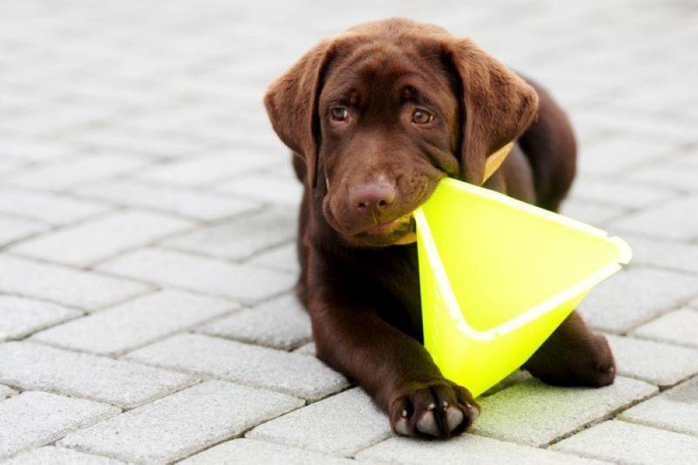 conheça o primeiro cão de busca e resgate de jaraguá do sul
